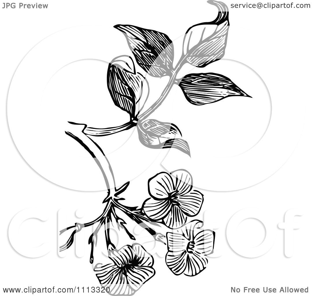 Clipart Vintage Black And White Jasmine Blossom Design