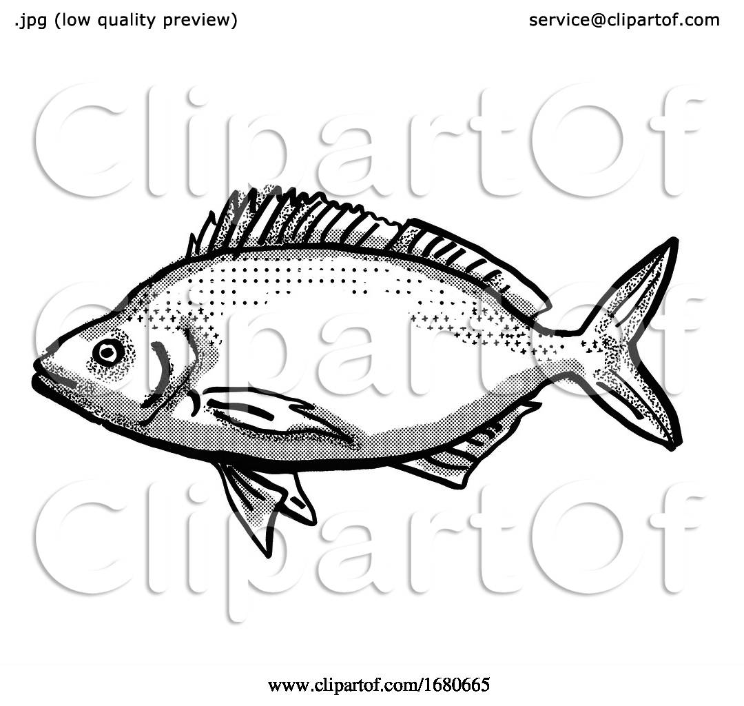 Jackass Morwong Australian Fish Cartoon Retro Drawing By