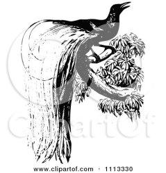 paradise bird drawing clipart line vector cartoon