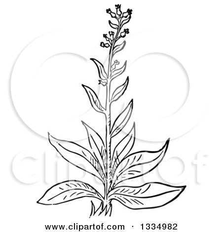 Clipart of a Black and White Woodcut Herbal Cumin Plant