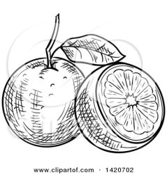 orange clipart navel oranges vector royalty sketched tradition sm illustrations