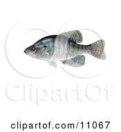 Royalty-Free (RF) Crappie Clipart, Illustrations, Vector