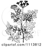 Royalty-Free (RF) Coriander Plant Clipart, Illustrations