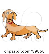 confused brown dachshund dog