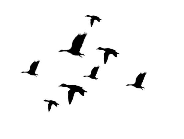 flying duck silhouette clipart