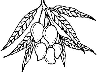 mango clipart tree fruit drawing coloring line clip fruits trees clipartpanda panda treee getdrawings fresh terms cliparts
