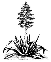 aloe clipart garden vegetable clip cactus cliparts clipartpanda west wild clipground designs library terms attribution forget link don presentations projects