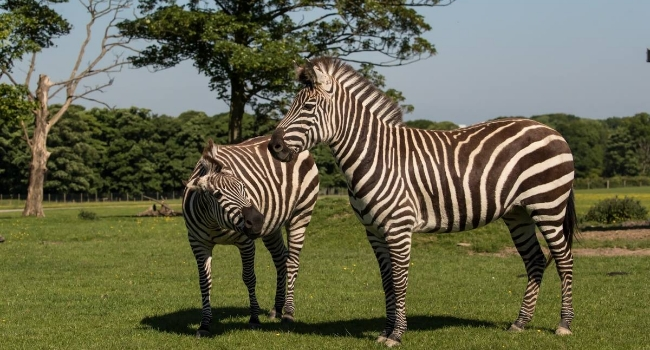 Two zebras at Knowsley Safari in Preston