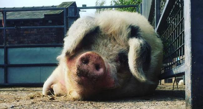 Pig lying on the floor at Croxteth Park Farm