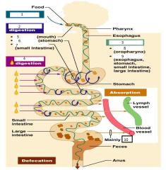 Anatomy Chapter 23 Digestive System Flashcards - Cram.com