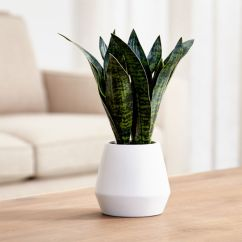 Tall Living Room Tables Long Sideboards Artificial Snake Plant In Pot + Reviews | Crate And Barrel