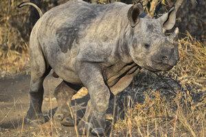 Ambitious Congo 1000 Francs 2012 Wildlife Rhinoceros 1 Oz Silver Easy To Lubricate Congo