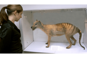 Decades after extinction declaration hunt for Tasmanian tiger resumes  CSMonitorcom