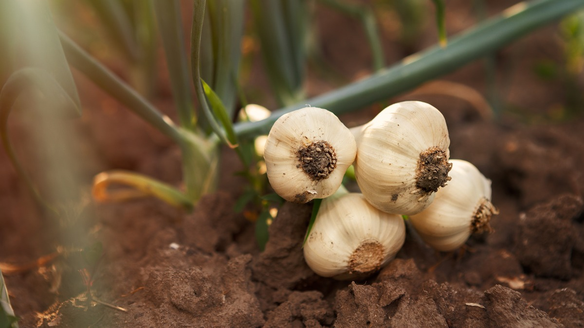 How To Grow And Harvest Garlic 2020 Masterclass
