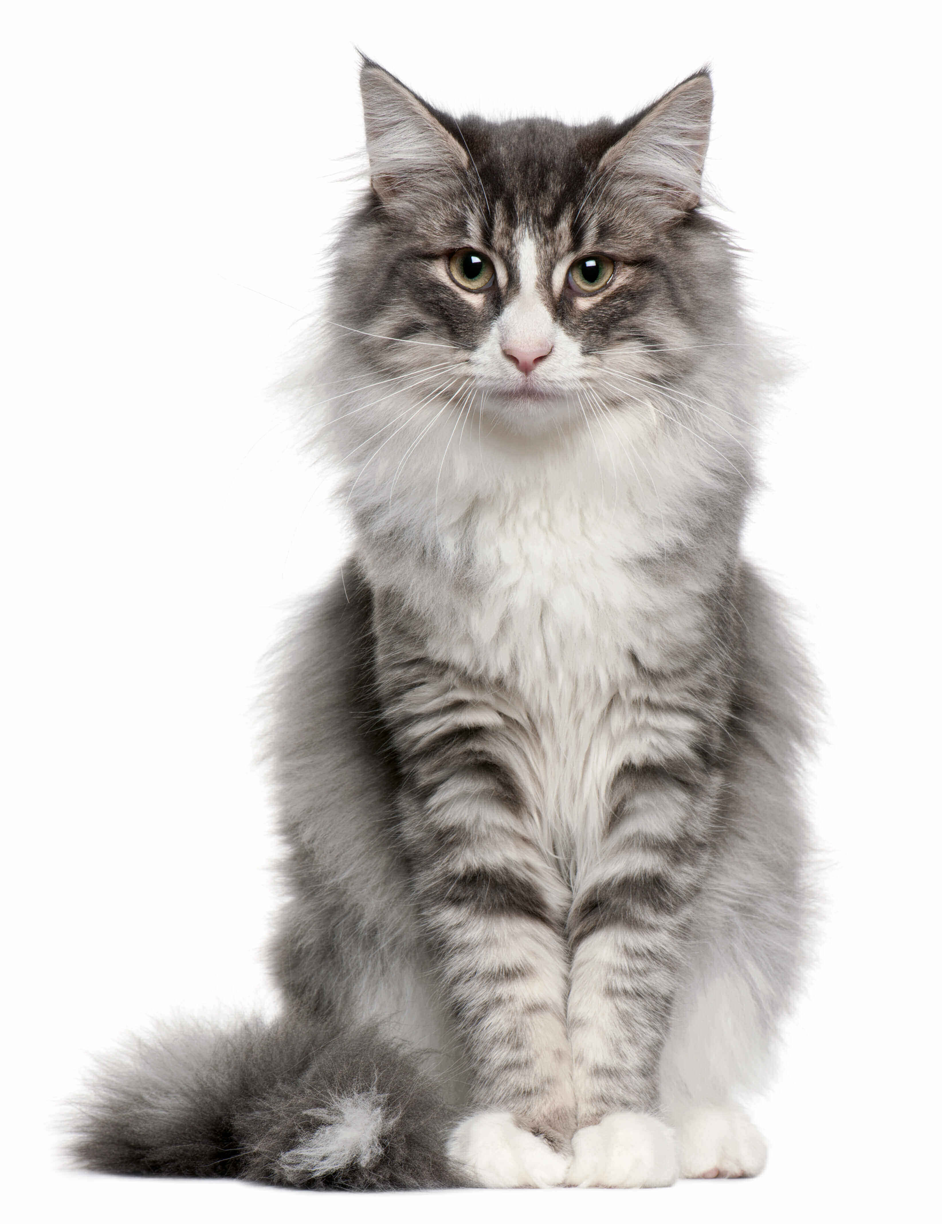 Popular Cat Breeds Facts Characteristics Of Top Breeds Of Cat