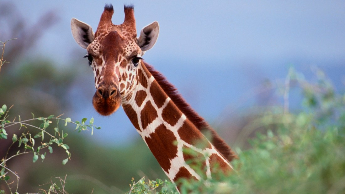 11 facts about giraffes