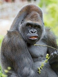 Gorillas Like People Have Individual Tastes In Music Discover Magazine
