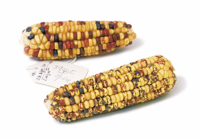 Corn kernels with different colours and patterns