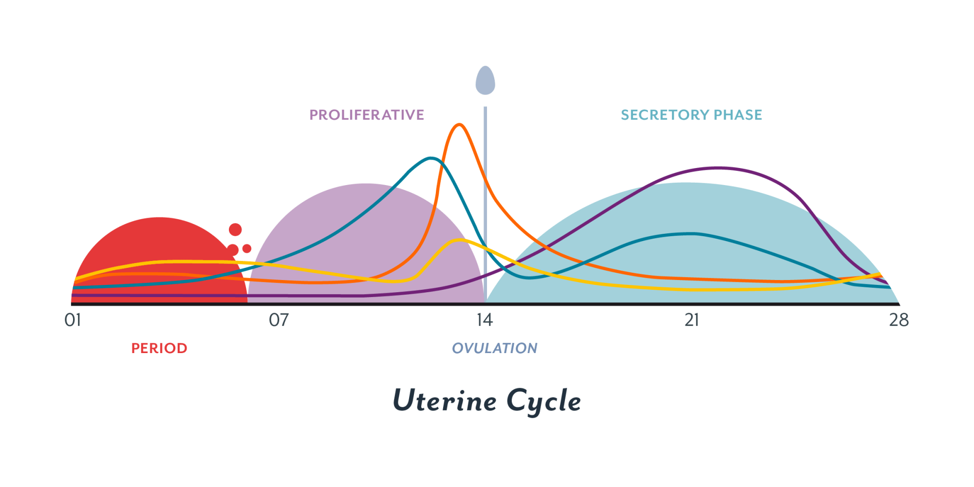 hight resolution of the uterine cycle