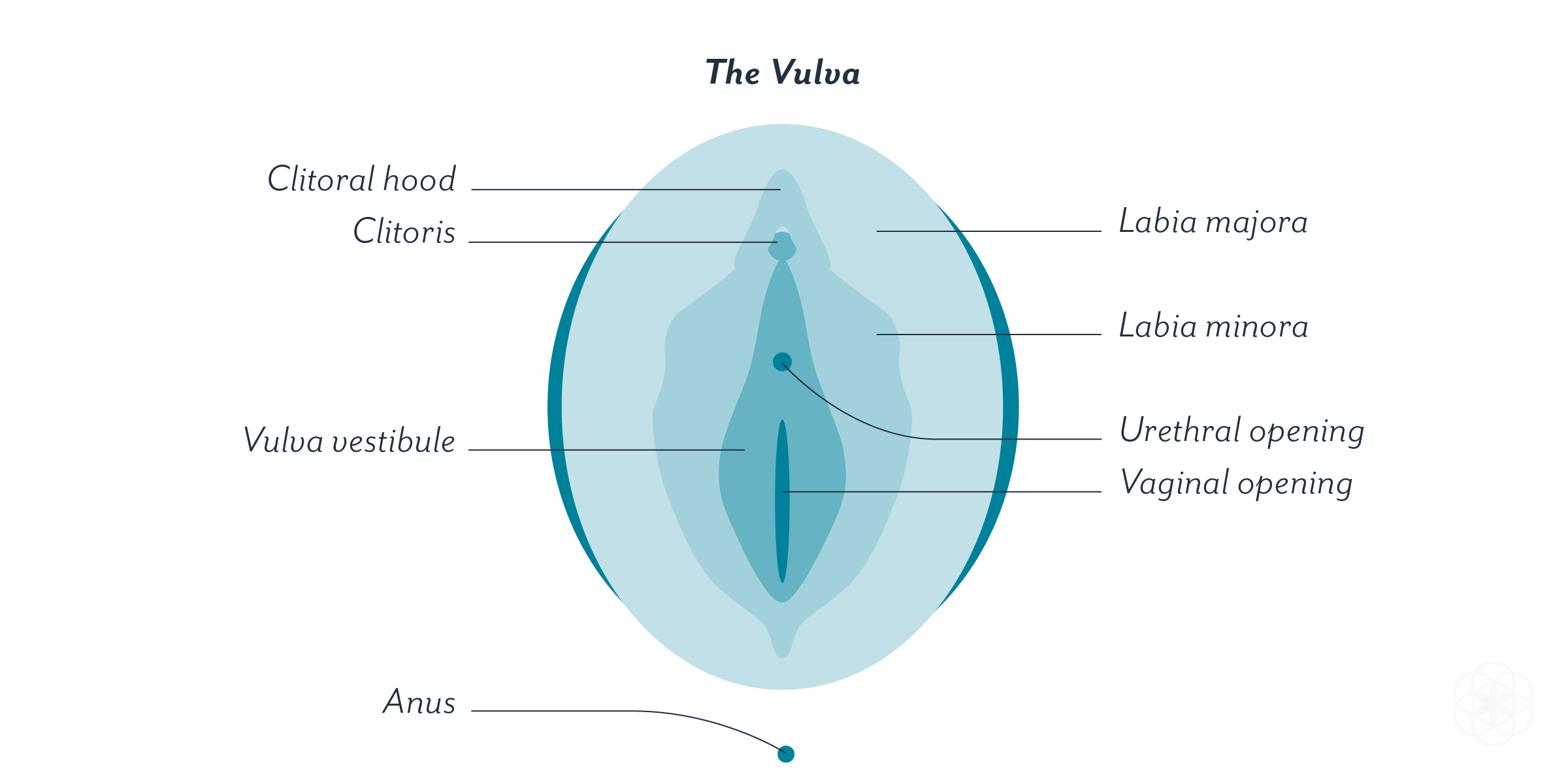 A labeled illustration of the vulva