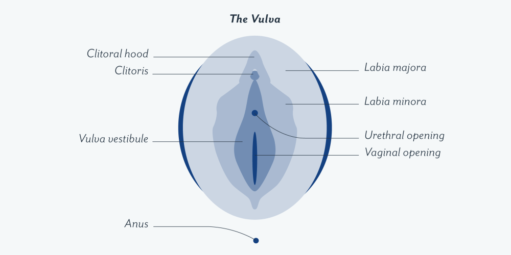 medium resolution of vulva inside article contenful 2x