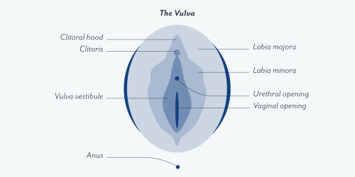 small resolution of this includes the glans clitoris labia minora and majora opening of the urethra and vagina the introitus and the surrounding tissue