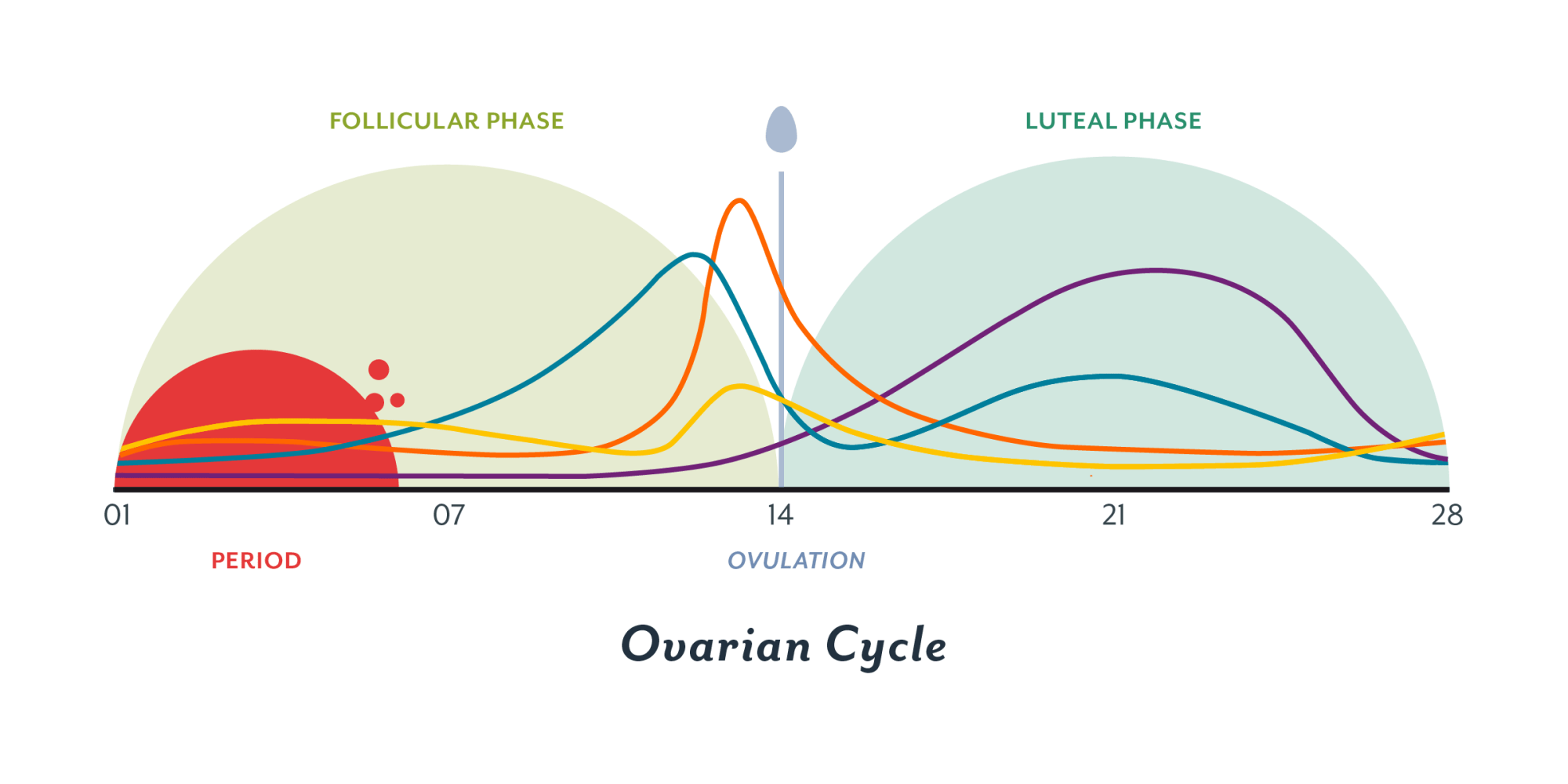 hight resolution of the ovarian cycle