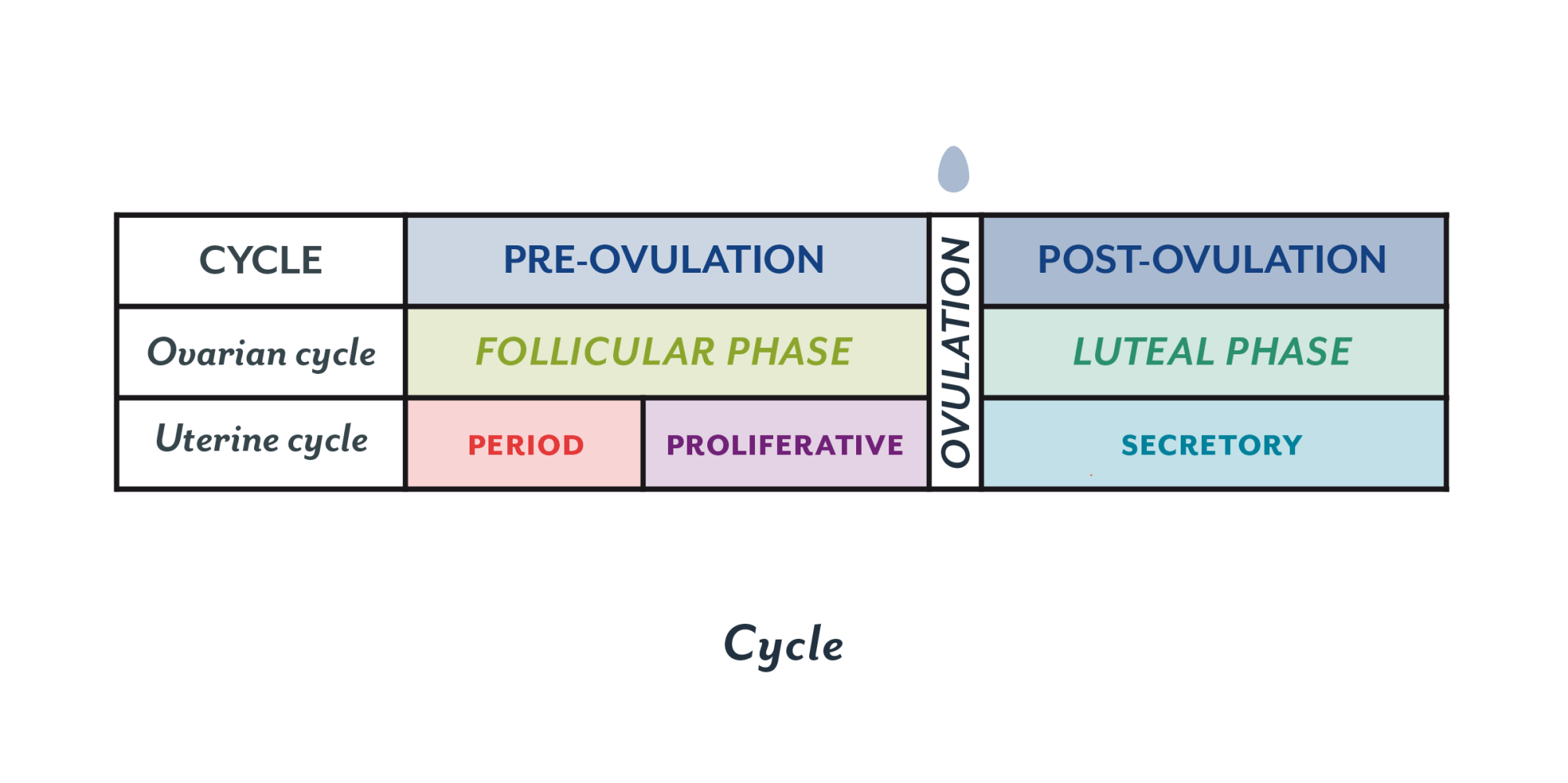 hight resolution of an overview of the menstrual cycle