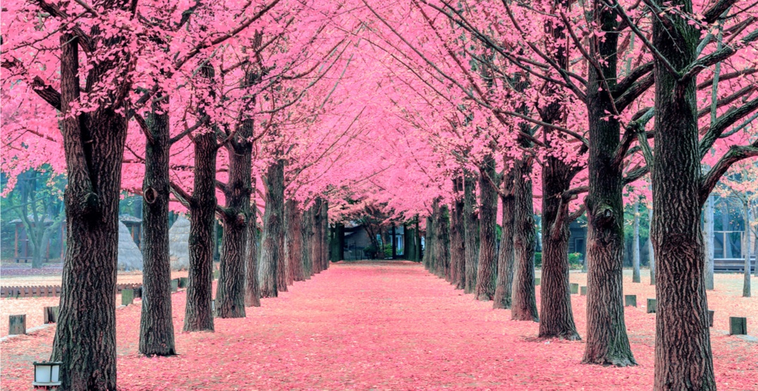 The Beaches is planning a new cherry blossom festival for this spring  Daily Hive Toronto