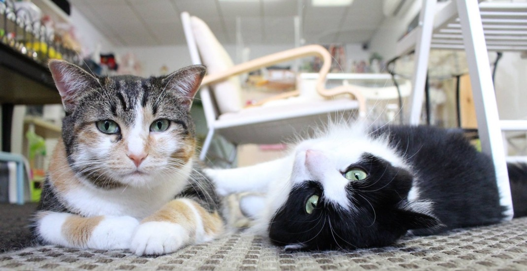 wheelchair for cats dining room chair cushions with ties toronto cat cafe to reopen but doubles down on anti meowcats