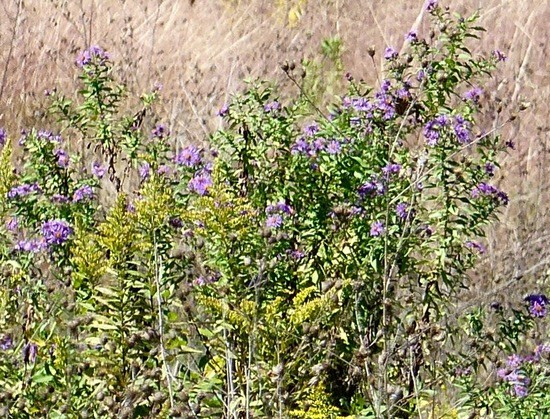 asters and goldenrods still blooming in late September