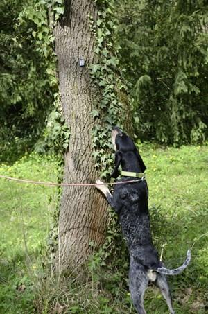 foto: bwl Die Hündin Joy im Einsatz: Der asiatische Laubholz-Bockkäfer nistet sich unter der Baumrinde ein. Trainierte Hunde riechen einen Befall viel früher, als ihn der Mensch sieht.