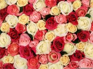 roses background fantastic backgrounds colorful rose wallpapers graphic