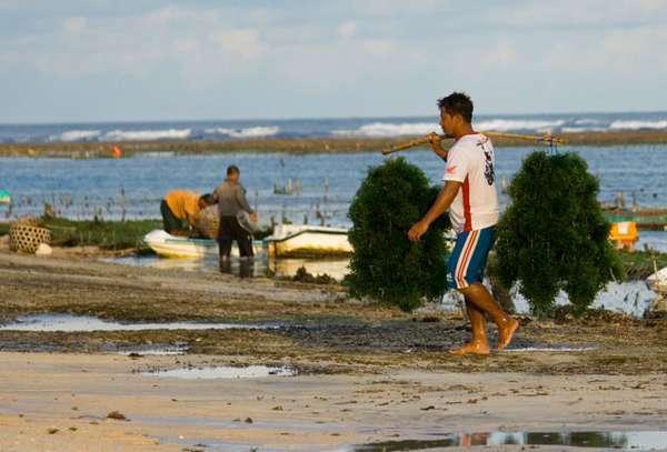 PLN Mau Bangun Pembangkit Listrik Tenaga Gas Rumput Laut
