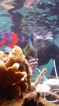 Menanam koral