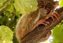 Tarsius, Si Mata Belo Dari Bangka Belitung Dan Sulawesi