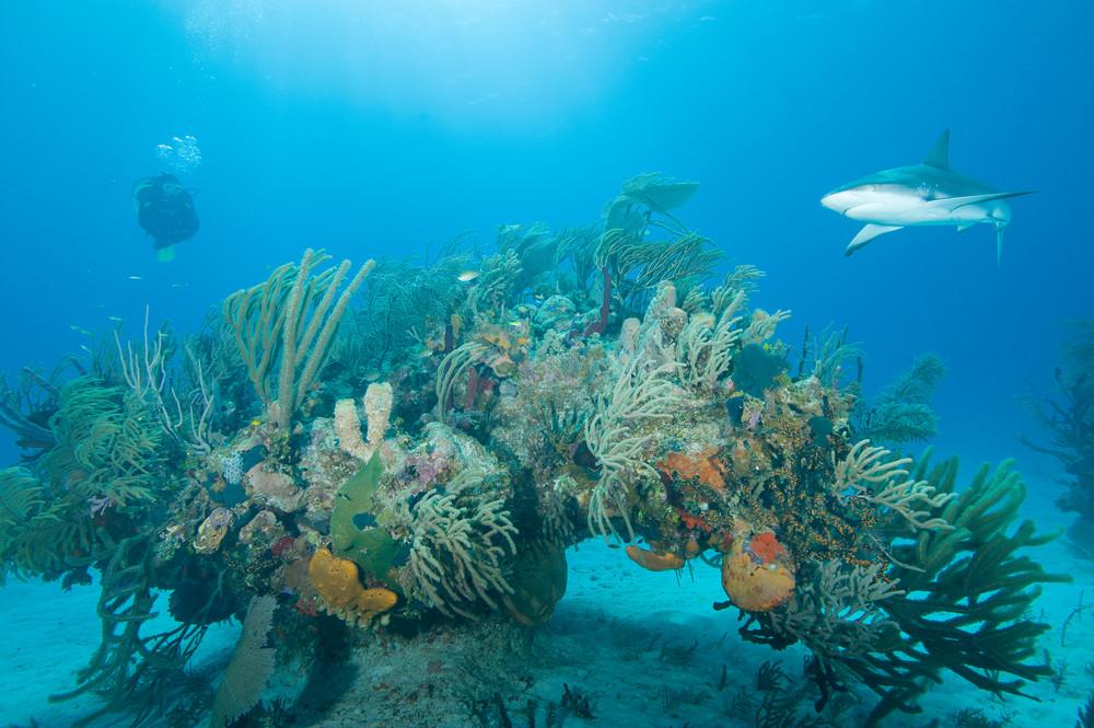 caribbean reef shark diver