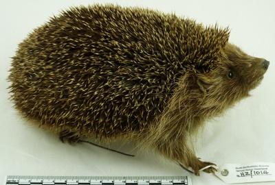 Hedgehog; 5348