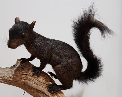Black squirrel; Letchworth, Herts; 1/NZ/1324
