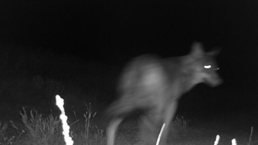 Lobo captado por el 'fototrampeo' del Departamento de Desarrollo Rural y Sostenibilidad.