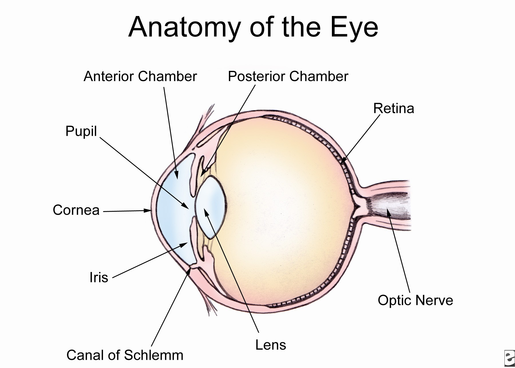 canine eye diagram how to wire a hot tub human anatomy quiz