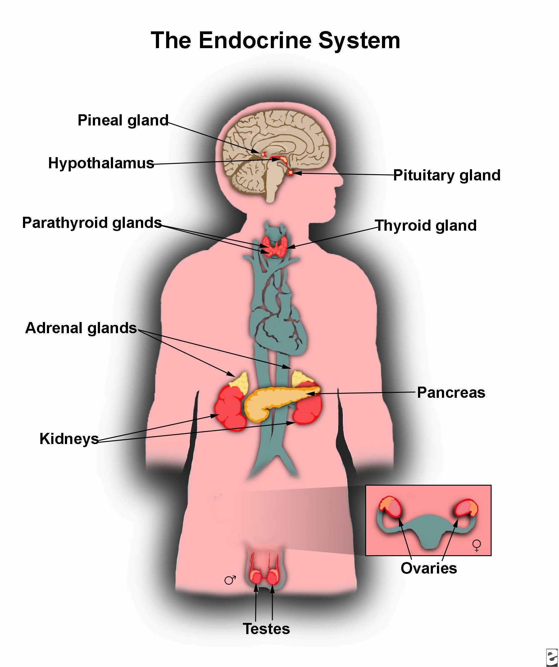 hight resolution of what causes growth hormone deficiency