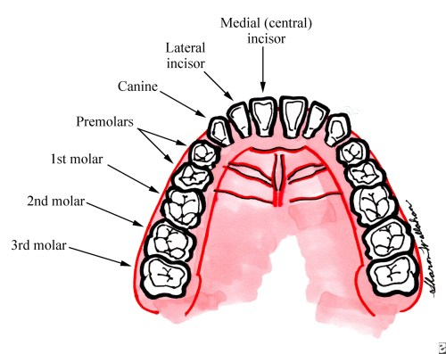 small resolution of full array of adult teeth