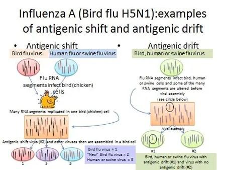 Bird Flu Symptoms, Causes, Transmission, Vaccine & Survival