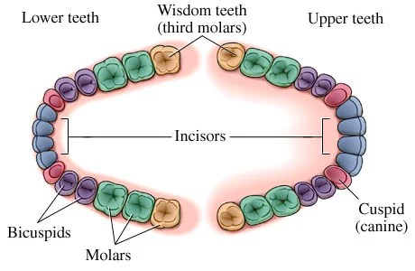 Wisdom Teeth - Pic - https://i0.wp.com/images.emedicinehealth.com/images/healthwise/medical/hw/h5551166.jpg
