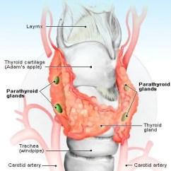 Endocrine System Diagram Lewis Dot For So3 Anatomy Function Organs Glands Illustration Of The Parathyroid