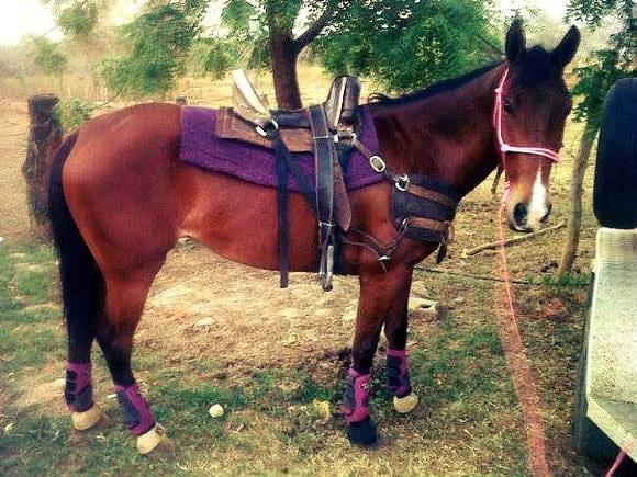 caballos de coleo Ref 40120