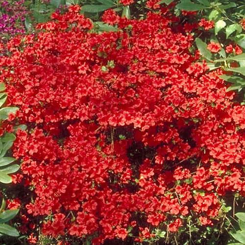 1 x azalea 'geisha red' japanese
