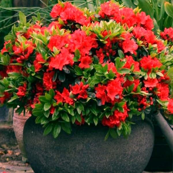 1 x red azalea japanese evergreen
