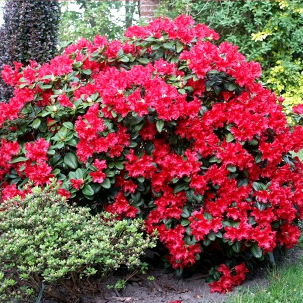 3 rhododendron 'scarlet '